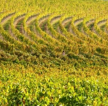 vineyards_around_florence_2